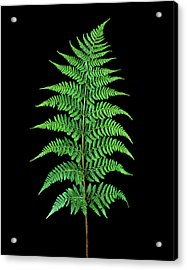 Male Fern (dryopteris Filix-mas) Acrylic Print by Gilles Mermet