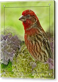 Acrylic Print featuring the photograph Male Finch In Hydrangesa by Debbie Portwood