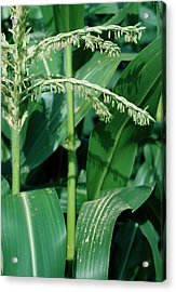 Male Flowers Of The Maize Plant Acrylic Print by Dr Jeremy Burgess/science Photo Library