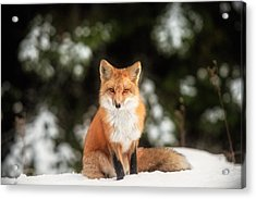 Male Fox Acrylic Print by Robert Clifford