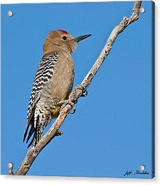 Male Gila Woodpecker Acrylic Print