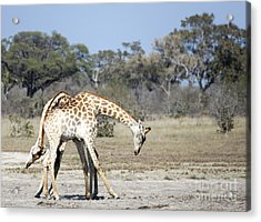 Acrylic Print featuring the photograph Male Giraffes Necking by Liz Leyden