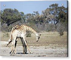 Male Giraffes Necking Acrylic Print