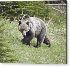 Male Grizzly In Kananaskis Acrylic Print