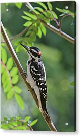 Male Hairy Woodpecker Picoides Villosus Acrylic Print by Kenneth Whitten