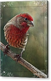 Male Housefinch With Green Texture And Decorations Acrylic Print by Debbie Portwood
