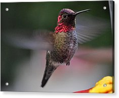 Male Hummingbird Anna In Flight Acrylic Print by Jay Milo