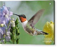 Male Hummingbird Acrylic Print by Kathy Baccari
