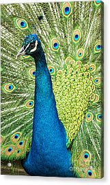 Male Indian Peacock Acrylic Print by Darleen Stry