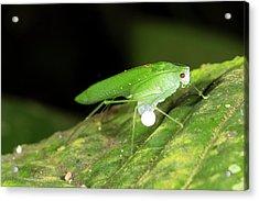 Male Katydid Producing A Spermatophore Acrylic Print