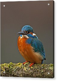 Male Kingfisher Acrylic Print by Paul Scoullar