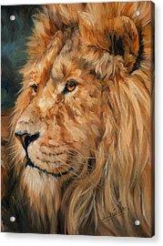 Male Lion Acrylic Print by David Stribbling