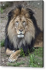 Male Lion Portrait Acrylic Print