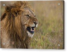 Male Lion Snarling In Ol Pejeta Acrylic Print by Ian Cumming