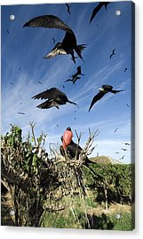 Male Magnificant Frigatebird Displaying Acrylic Print