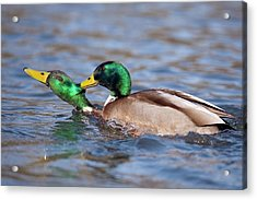 Male Mallards Fighting Acrylic Print