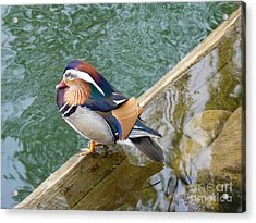 Male Mandarin Duck Sleeping At Pond Edge Acrylic Print