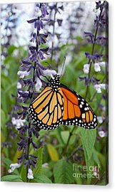 Acrylic Print featuring the photograph Male Monarch Butterfly  by Eva Kaufman