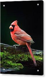 Male Northern Cardinal Cardinalis Acrylic Print by Panoramic Images