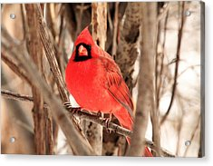 Male Northern Cardinal Acrylic Print by Michael Allen