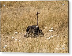 Male Ostrich Sitting On Communal Eggs Acrylic Print