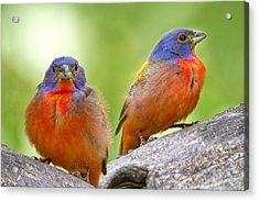 Male Painting Buntings Acrylic Print by Bonnie Barry