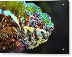 Male Panther Chameleon Furcifer Acrylic Print by Thomas Kitchin & Victoria Hurst