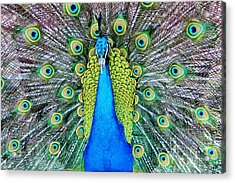 Male Peacock Acrylic Print