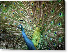 Male Peacock Displaying Acrylic Print