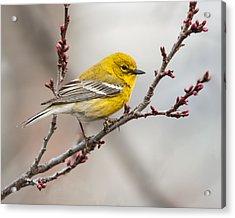 Male Pine Warbler 2 Acrylic Print