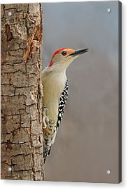 Male Redbellied Woodpecker 1 Acrylic Print