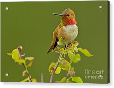Male Rufous Hummingbird Acrylic Print by Tom and Pat Leeson