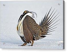 Male Sage Grouse Acrylic Print