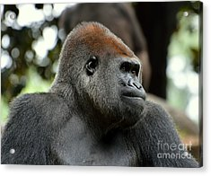 Acrylic Print featuring the photograph Male Silverback by Lisa L Silva