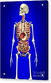 Male Skeleton With Internal Organs Acrylic Print by Leonello Calvetti