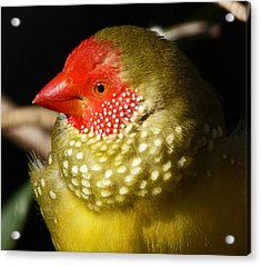 Male Star Finch Acrylic Print by Margaret Saheed