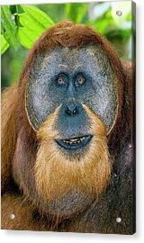 Male Sumatran Orangutan Acrylic Print