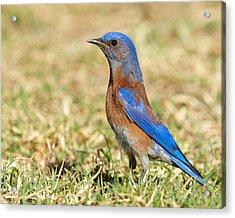 Male Western Bluebird Acrylic Print