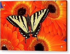Male Western Tiger Swallowtail Acrylic Print
