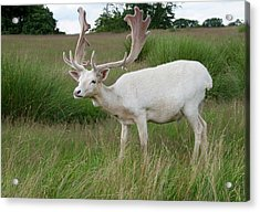 Male White Fallow Deer Acrylic Print