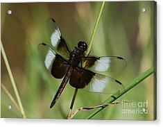 Male Widow Skimmer Dragonfly Acrylic Print