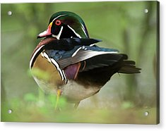 Male Wood Duck Acrylic Print by Bob Gibbons