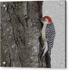 Male Woodpecker Feeding  Acrylic Print