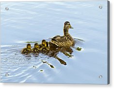 Mallard And Chicks  Acrylic Print