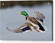 Mallard Drake Taking Flight Acrylic Print by Ken Archer