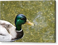 Mallard Duck Closeup Acrylic Print by David Millenheft