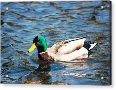 Acrylic Print featuring the photograph Mallard Duck by Judy Palkimas