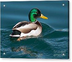 Mallard Duck  Acrylic Print by Loriannah Hespe