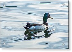 Mallard Duck On A Calm Lake Acrylic Print by Photographic Arts And Design Studio