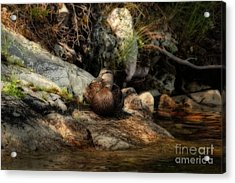 Acrylic Print featuring the photograph Mallard Duck Onaping 2 by Marjorie Imbeau